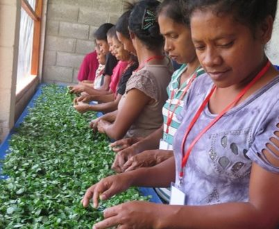 Using the Moringa Tree to Combat Malnutrition in Timor-Leste