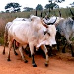 The Neglected Crisis of Fulani Herdsmen Violence in Nigeria's Middle Belt Region