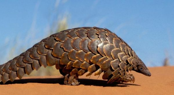 South Sudan: how the nation's instability has let down the gentle pangolin